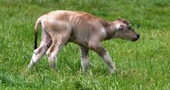Kent Buffalo