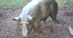 Bronze Pig