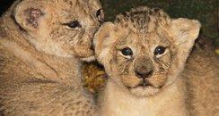 Longleat lion cubs Simba and Nala