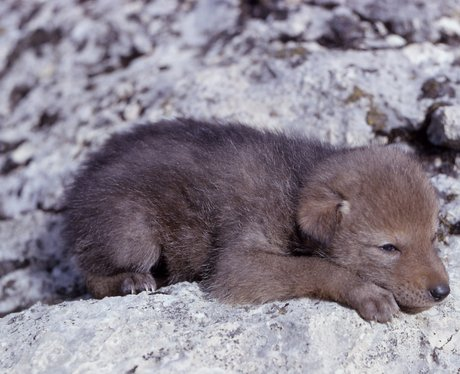 A sleeping coyote pup
