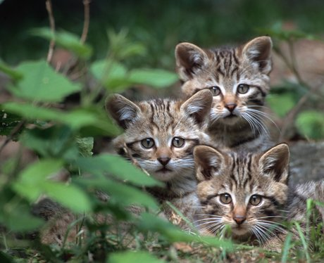 Three young wild cats hiding in the leaves
