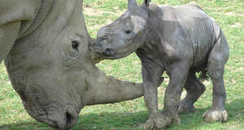 Cotswold Wildlife Park's First Baby White Rhino