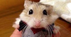 hamster wearing a jumper