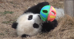 Baby Panda Plays With A Ball