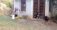 lion scaring dog
