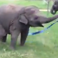 Elephant Plays With Ribbon Video
