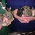 Bunnies dumped in Soham