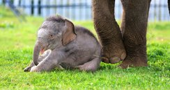Woburn elephant calf