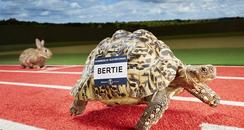 Bertie the record breaking tortoise