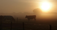 cows meadow sunset