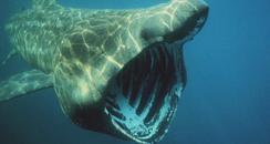 Basking Shark in Cornwall