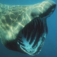 Basking Shark in Cornwall