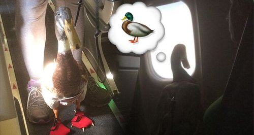 This Man Brought His 'Emotional Support Duck' On A