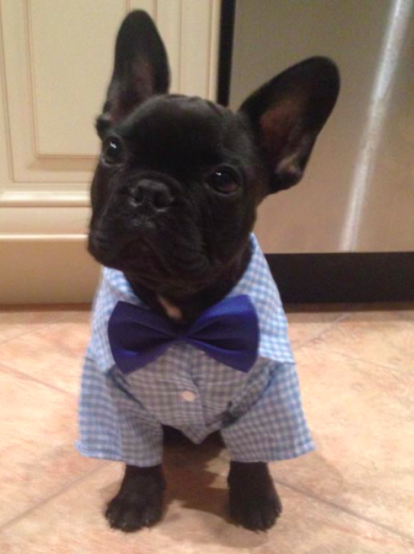 french bulldog dressed up 14 this french bulldog has a thing or two to teach the 8593